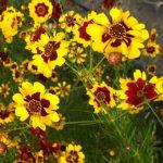 Фото 2: Кореопсис из семян