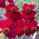 Фото 5: Кореопсис красильный цветок