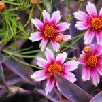Фото 17: Кореопсис розовый Свит