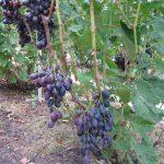 Фото 24: Кустик винограда
