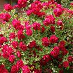 Фото 48: Кустистая роза