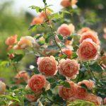 Фото 11: Кустовые розы