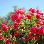 Фото 12: Кусты роз розовых