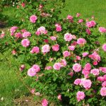 Фото 13: Кусты роз
