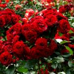 Фото 4: Куст роз