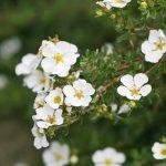Фото 3: Лапчатка белая цветы