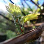 Фото 25: Лоза винограда