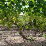 Фото 26: Лора виноград