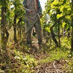 Фото 27: Обработка винограда