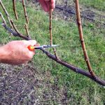 Фото 30: Обрезка винограда весной