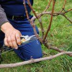 Фото 32: Обрезка винограда
