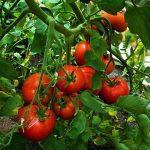 Фото 5: Парник для помидора