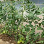 Фото 7: Парник для томатов