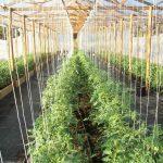 Фото 9: Подвязка в теплице помидор