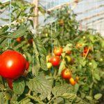 Фото 12: Подвязка помидор
