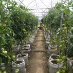 Фото 13: Подвязка томатов