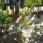 Фото 6: Подкормка малины