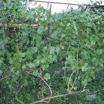 Фото 41: Подкормка синего винограда