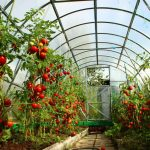 Фото 16: Подкормка томатов в теплице