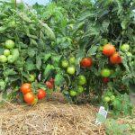 Фото 17: Подкормка томатов и помидора