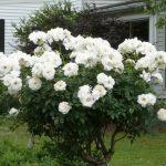 Фото 62: Роза белая