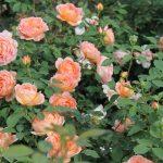 Фото 19: Роза кустарник