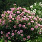 Фото 20: Роза парковая фото