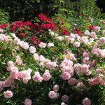 Фото 21: Роза парковая