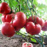Фото 12: Розовый мёд - помидоры