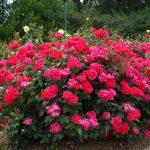 Фото 25: Розы шабра