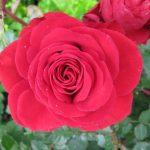 Фото 27: Рыскрытие розы