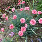 Фото 41: Садовая многолетняя гвоздика