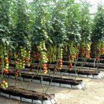 Фото 32: Теплица с томатами