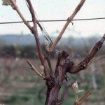 Фото 48: Уход за виноградом