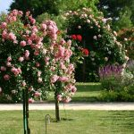 Фото 34: Фото кусты роз