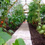 Фото 47: Фото помидор в теплице