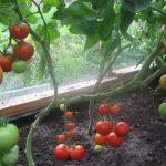Фото 48: Фото помидор и томатов