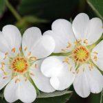 Фото 20: Цветки белой лапчатки