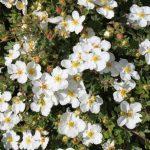 Фото 21: Цветки лапчатки белой