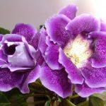 Фото 69: Цветок Глоксиния