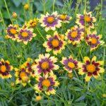 Фото 49: Цветы многолетние