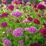 Фото 49: Цветы турецкая гвоздика