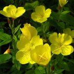 Фото 6: Энотерна цветок фото