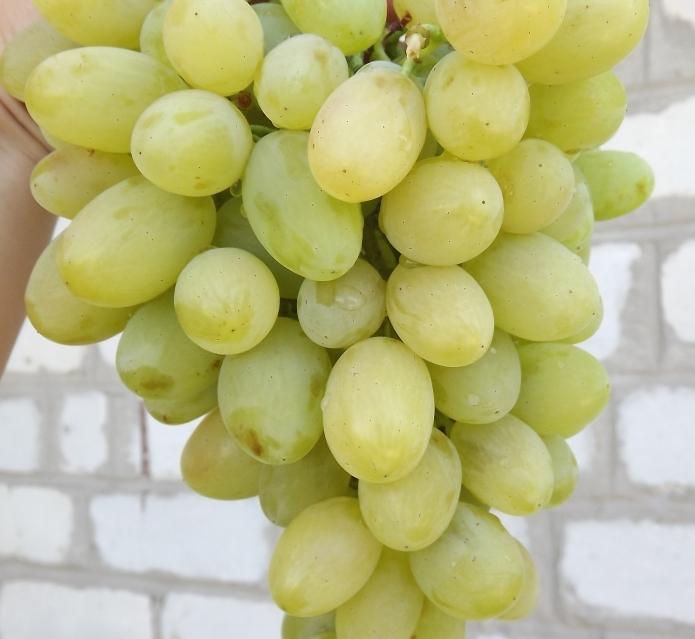 виноград августин описание сорта фото отзывы