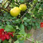 Фото 2: Айва красная с плодами