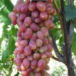 Фото 7: Алвика виноград