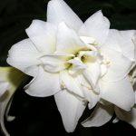 Фото 7: Белые гиппеаструмы