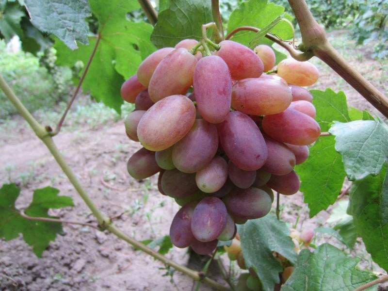 сорт винограда юлиан фото и описание эта бактерия
