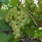 Фото 20: Виноград фото