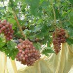 Фото 15: Виноград фото